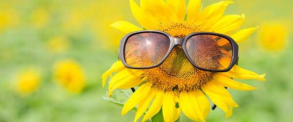 Sunflower for picking flowers